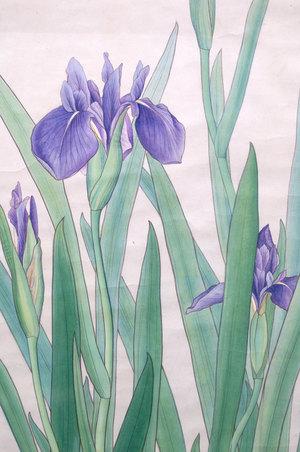 燕子花 - Iris Laevigata