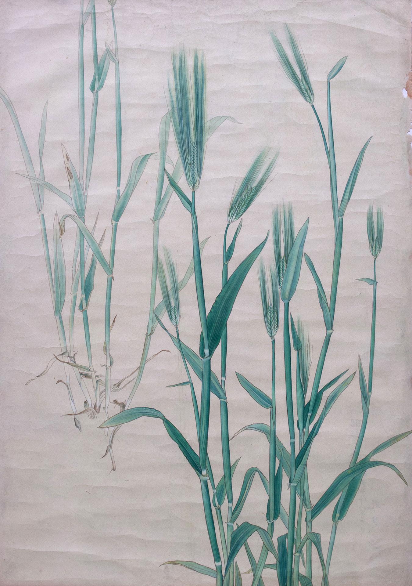 アオスゲ* - Carex Leucochlora