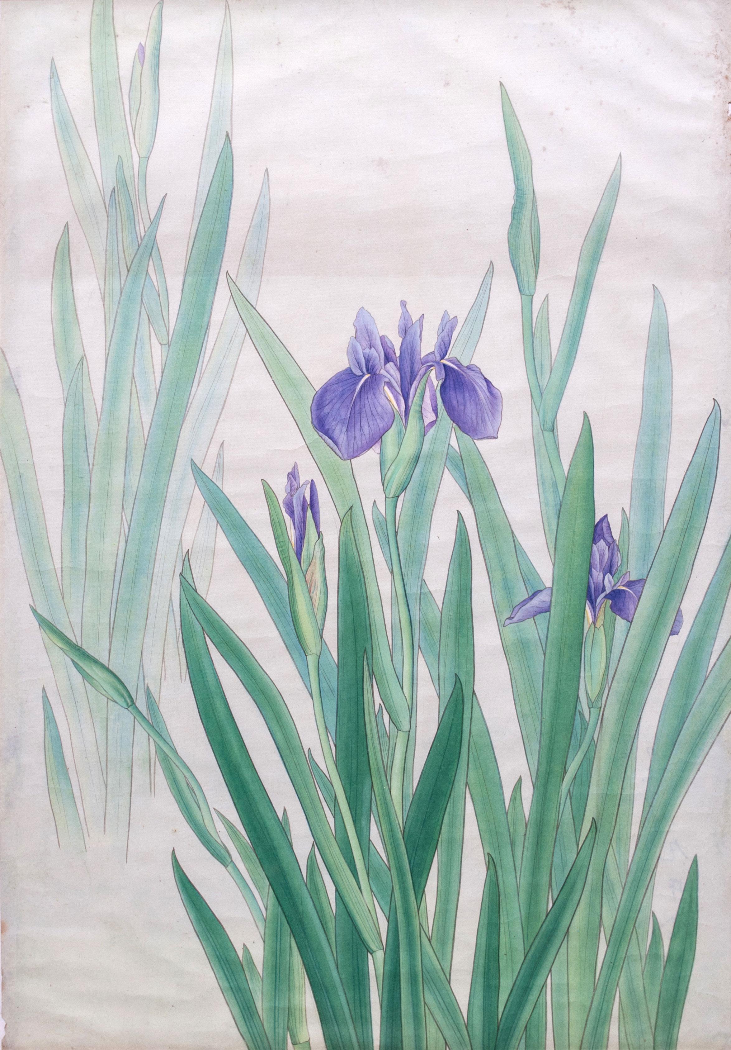 燕子花* - Iris Laevigata